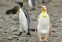 κιτρινος-πιγκουινος